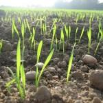 uprawa pszenicy agrotechnika pszenicy