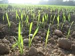 uprawa pszenicy agrotechnika uprawy pszenicy