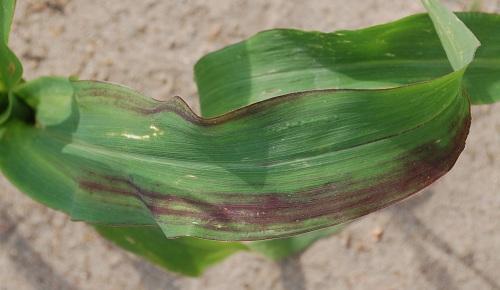 kukurydza niedobory fosforu nawożenie