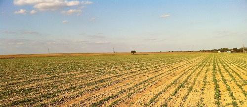 rzepak ozimy agrotechnika uprawy rzepaku