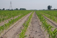 uprawa kukurydzy nawożenie ochrona kukurydzy