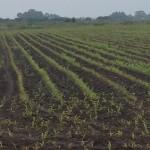 uprawa kukurydzy nawożenie