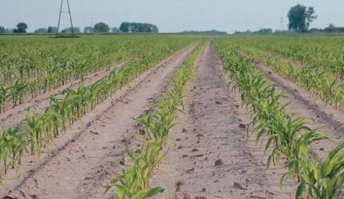 odchwaszczone pole kukurydzy