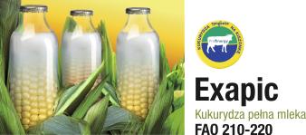 odmiana kukurydzy exapic na kiszonkę