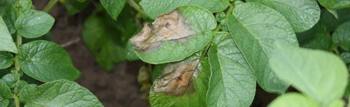 Objawy zarazy ziemniaka na liściu