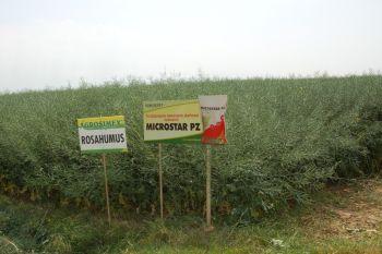 Emilianów 8.06.2015-rzepak firmy KWS uprawiany w szerokich rzędach z nawożony Microstarem i Rosahumusem.