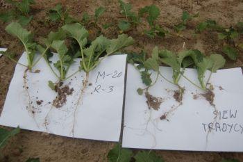 Rzepak siany w szerokich rzędach z Microstarem PMX od początku wegetacji ma silniejszy system korzeniowy i większe liście. Różanna 8.10.2013 r.