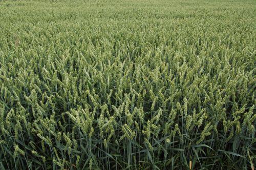 15.07.2015 – Chełmiec. Pszenica jara Torridon nawożona Microstarem 30kg + Rosahumus 3kg /150kg nasion/ha.