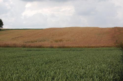 15.07.2015.Chełmiec, na pierwszym planie pszenica jara Torridon nawożona Microstarem i Rosahumusem  w głębi pszenica ozima. Mimo silnej suszy  rośliny są w idealne kondycji, a uzyskany plon wyniósł 8.800kg/ha.