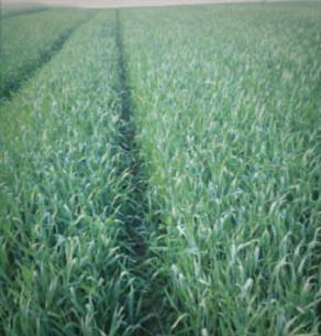 8.06.2015 – Chełmiec, pszenica jara Torridon nawożona Microstarem PZ + Rosahumus