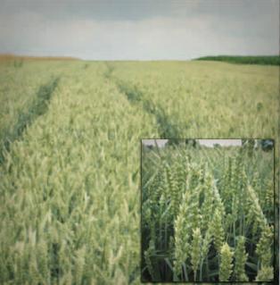 15.07.2015 – Chełmiec, pszenica jara Torridon nawożona Microstarem 30 kg + Rosahumus 3 kg/150 kg nasion/ha