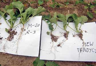 Rzepak siany w szerokich rzędach z Microstarem PMX od początku wegetacji ma silniejszy system korzeniowy i większe liście. Różanna, 8.10.2013 r.
