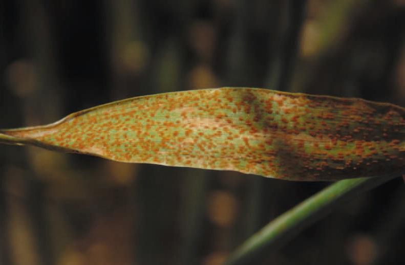 Cała powierzchnia liścia może zostać pokryta urediniami, czyli skupieniami urediniospor – zarodników propagacyjnych.