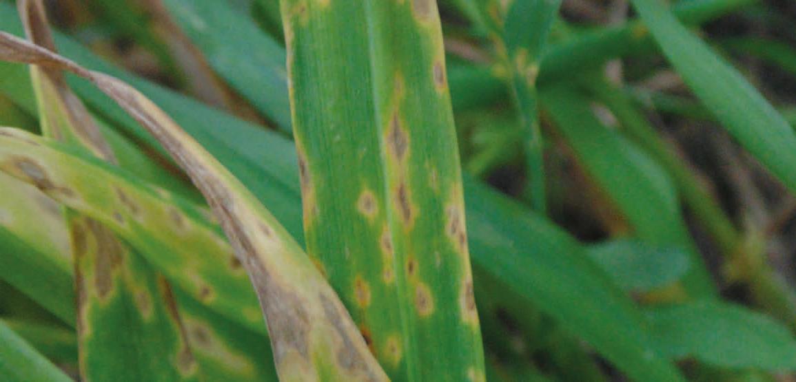 Objawy brunatnej plamistości liści zbóż