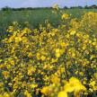 Okres kwitnienia rzepaku to czas wykonania zabiegów chemicznych przeciw zgniliźnie twardzikowej