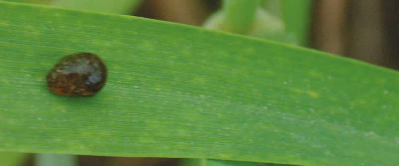 Skrzypionka na liściu pszenżyta