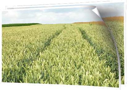 Pszenica jara Torridon nawożona Microstarem 30 kg + Rosahumus 3 kg/150 kg nasion/ha – Chełmiec, 15.07.2015 r