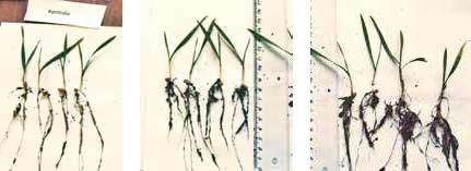 Na kolejnych zdjęciach: 1. Kontrola 2. Microstar C2 P2O5, MgO, Cu, Zn – 20 kg/100 kg nasion 3. Microstar C2 P2O5, MgO, Cu, Zn – 20 kg/100 kg nasion + Rosahumus – 1 kg/100 kg nasion