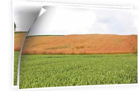 Na pierwszym planie pszenica jara Torridon nawożona Microstarem i Rosahumusem, w głębi pszenica ozima – mimo silnej suszy rośliny są w idealnej kondycji, a uzyskany plon wyniósł 8,8 t/ha – Chełmiec, 15.07.2015 r