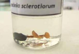 Apotecja grzyba S. sclerotiorum