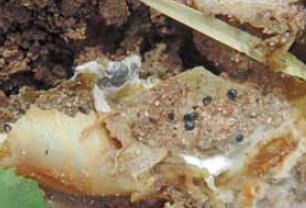 Charakterystyczna biała, obfita grzybnia oraz sklerocja grzyba na porażonych tkankach roślin