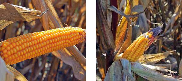 Po lewej: Brak widocznych skutków suszy przed zbiorami – październik 2015 r.  Po prawej: Skutki suszy widoczne przed zbiorami – październik 2015 r.
