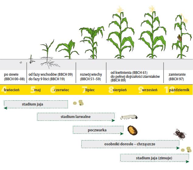 Cykl rozwojowy stonki kukurydzianej