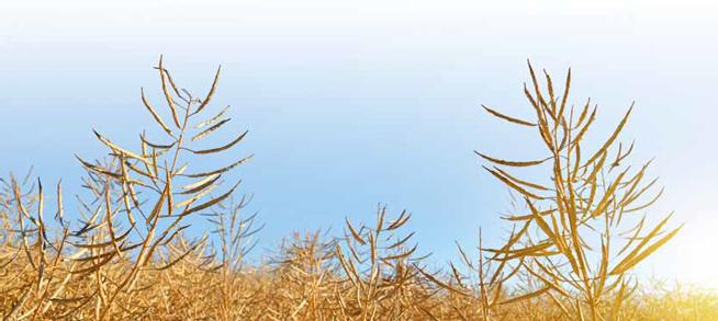 Osypywanie nasion