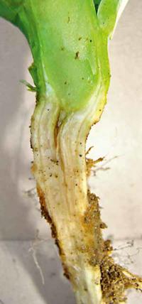 Pęknięcie pod szyjką korzeniową wskazuje na deficyt boru