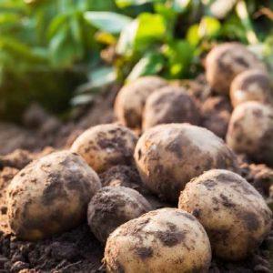 Bolero nawożenie ziemniaka