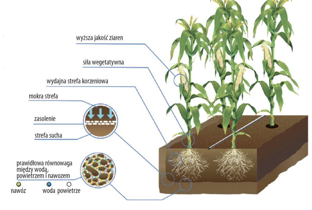 Nawadnianie kropelkowe w uprawie kukurydzy