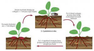 Cykl rozwojowy śmietki kapuścianej