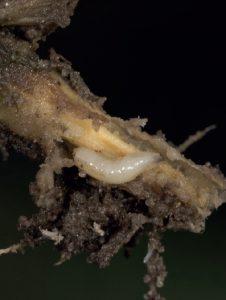 Zdjęcie przedstawia larwę śmietki kapuścianej