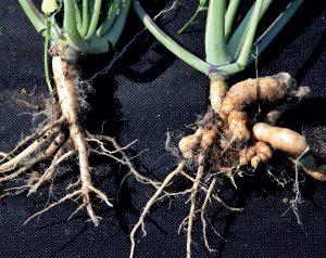 Rośliny rzepaku bez objawów kiły kapusty oraz silnie porażone